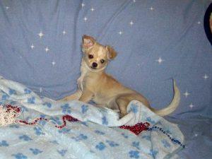 Long Hair Chihuahua For Sale in Arizona
