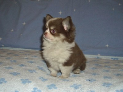 Akc Chihuahuas Puppies For Sale Chihuahua Breeder Arizona Out