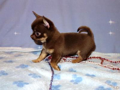 AKC Chihuahuas Puppies For Sale - Chihuahua Breeder Arizona