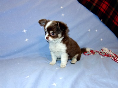 AKC Chihuahuas Puppies For Sale - Chihuahua Breeder Arizona | Out