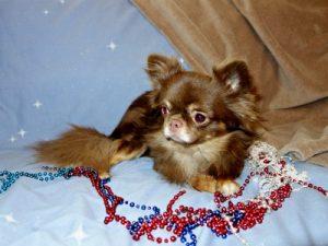 AKC Chihuahua Dog Breeders AZ